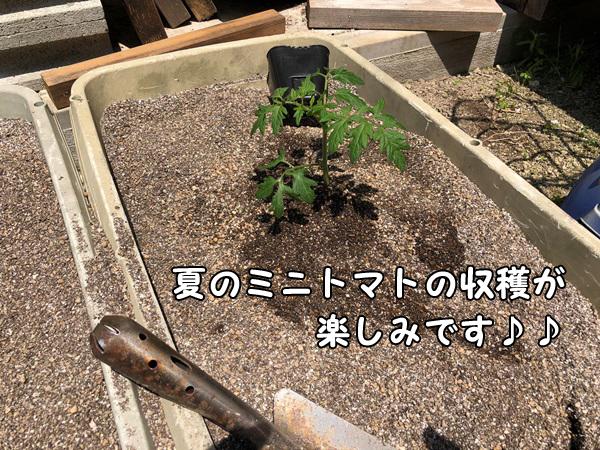 プランターへミニトマトの苗を植えます。