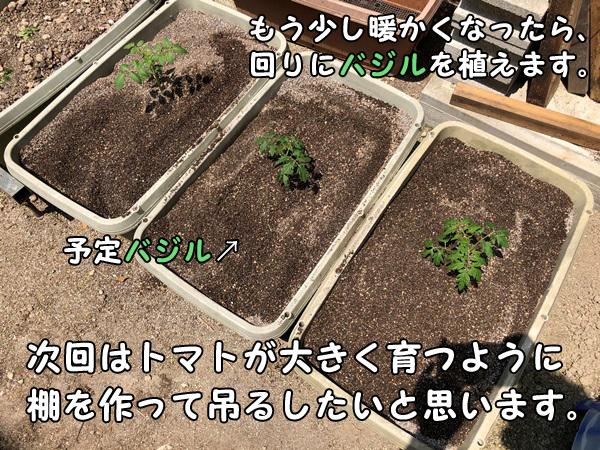 ミニトマトの回りにバジルを植える予定