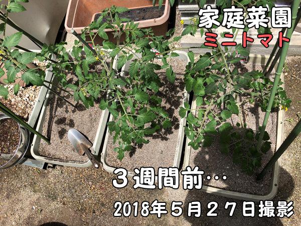 家庭菜園_ミニトマト_1か月経過