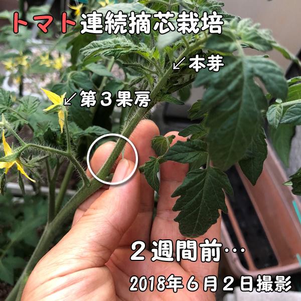 トマトの連続摘芯栽培_カット前
