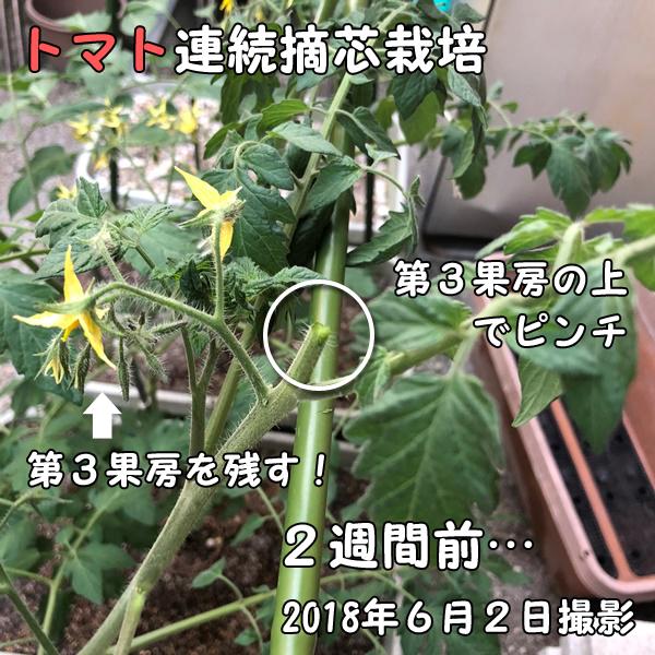 トマトの連続摘芯栽培_カット後