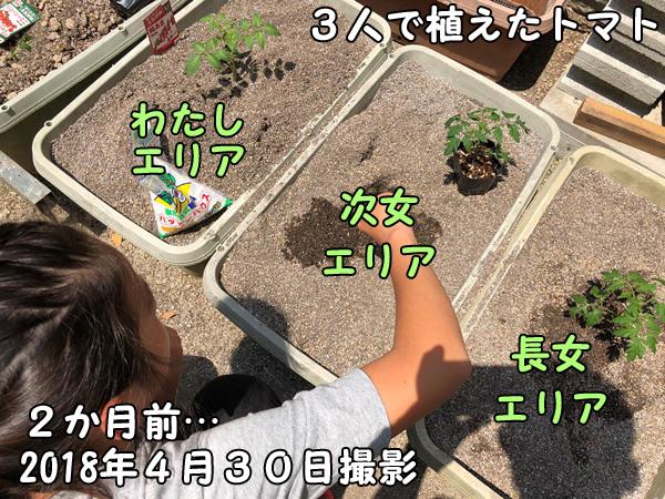 家庭菜園_トマト_苗付写真