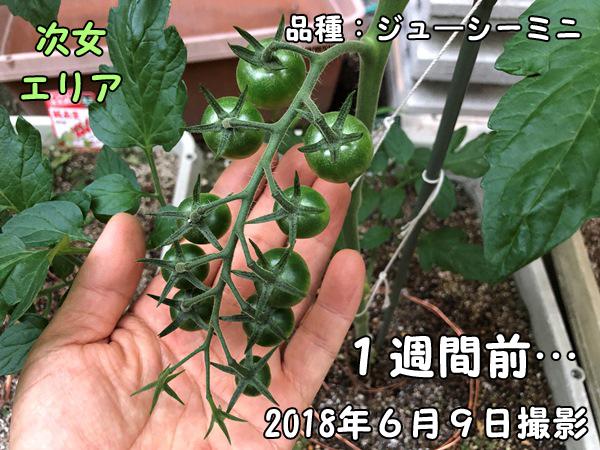 ミニトマト_ジューシーミニ_成長写真