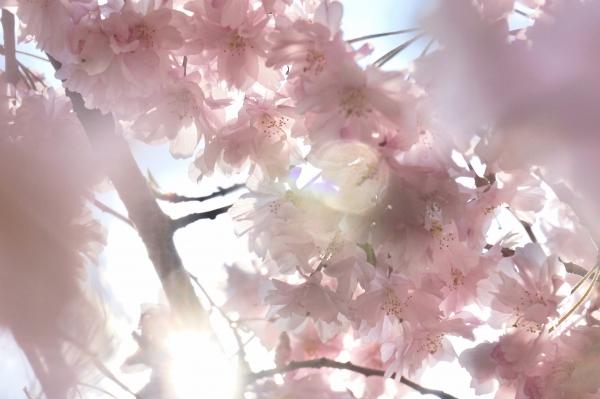 枝垂桜画像