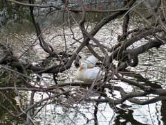池のあひる