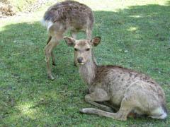 カメラ目線の鹿