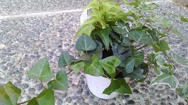 買って来た観葉植物