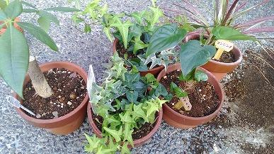 大きめの植木鉢に植え替え
