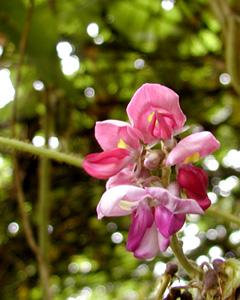 色あでやかな葛の花