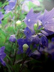 朝顔の花は、桔梗のことです