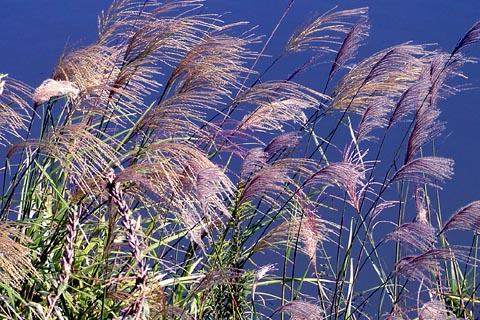 秋風になびく尾花