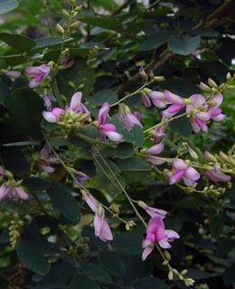 七草の中で一番知られる、萩の花