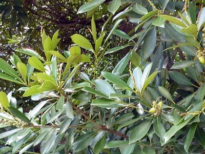常緑の椎の木