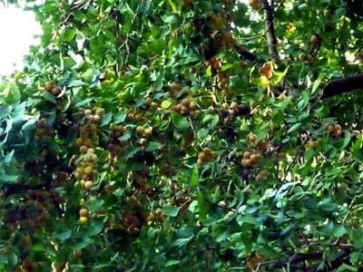 枝に実るギンナン