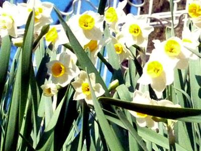 陽あたりの良い斜面に咲く水仙