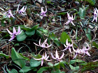 斜面にさくかたくりの花