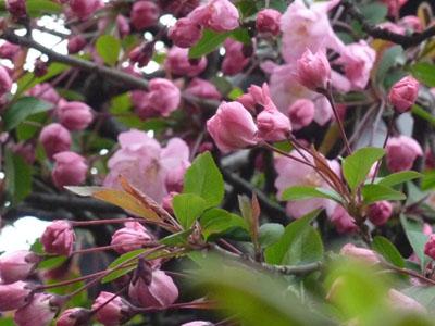 紅色の海棠の蕾