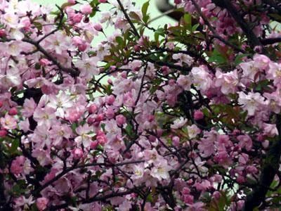 あでやかに咲く海棠の花