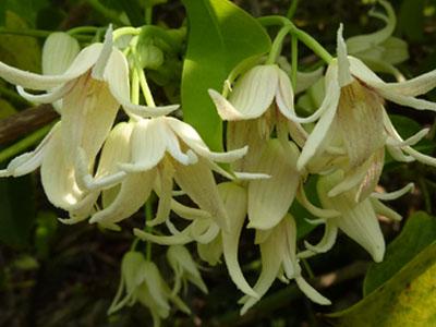 ほのかな香りの郁子の花