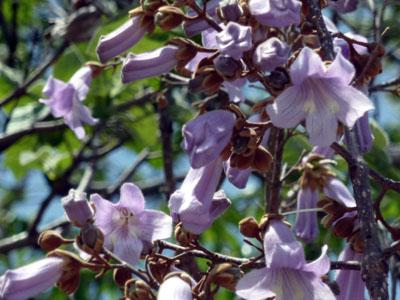 香り漂う桐の花
