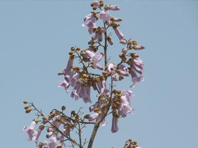 空まで伸びる桐の花