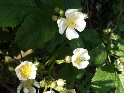 小さなノイバの花