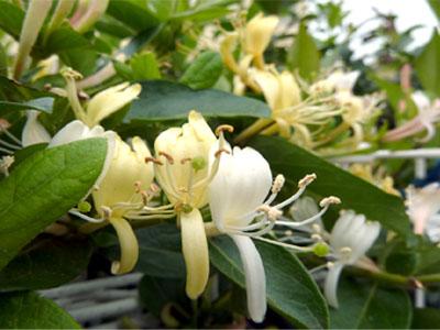 花開く忍冬の花