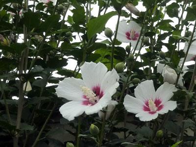 白い木槿の花