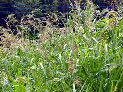 セイバンモロコシが顔を出す草地