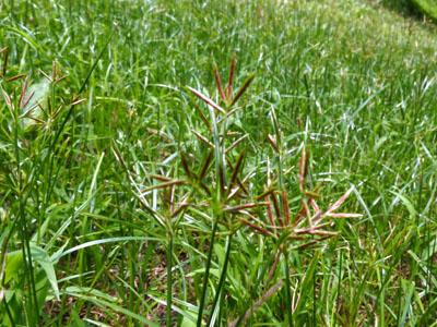 カヤツリ草の生える草地