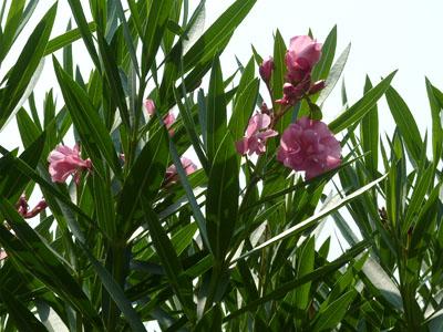 暑い日に咲く夾竹桃