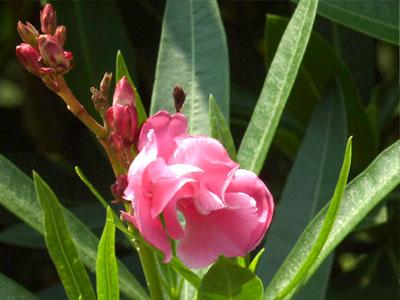 八重咲きの夾竹桃