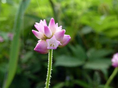 花開く継子の尻拭い