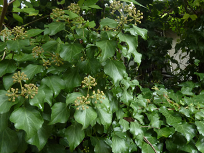 生垣を覆う木蔦