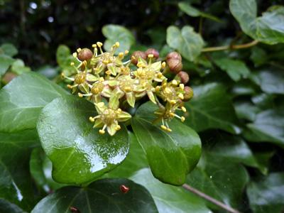 可愛い木蔦の花
