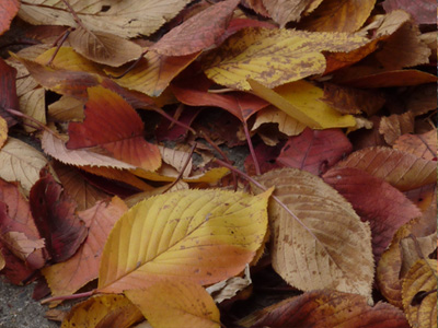 道路のさくら黄葉