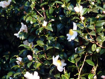 寒風に咲く山茶花