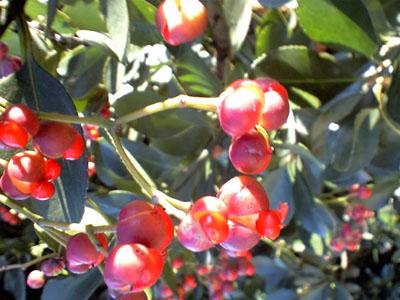 緑の葉と赤い実の柾
