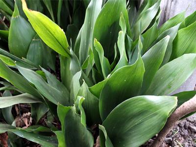 冬でも緑の葉蘭