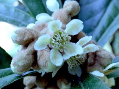 花びら揺れる枇杷の花