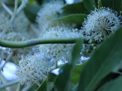 白い花が咲く八つ手の花