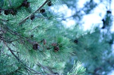 風に揺れる松の枝