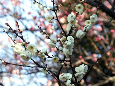 白梅と紅梅の香りを