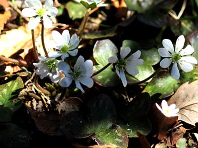 春一番の雪割草