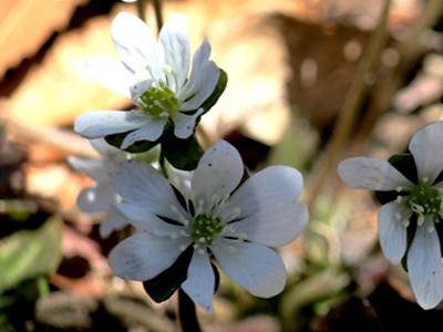 花弁のない雪割草