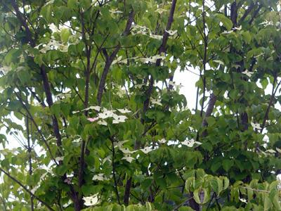 緑の中のヤマボウシ