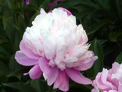 花弁が開く芍薬の花