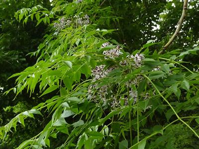 木々の中の栴檀の花
