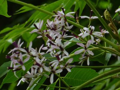 うす紫色に咲く栴檀