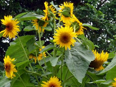 暑さの中咲く向日葵